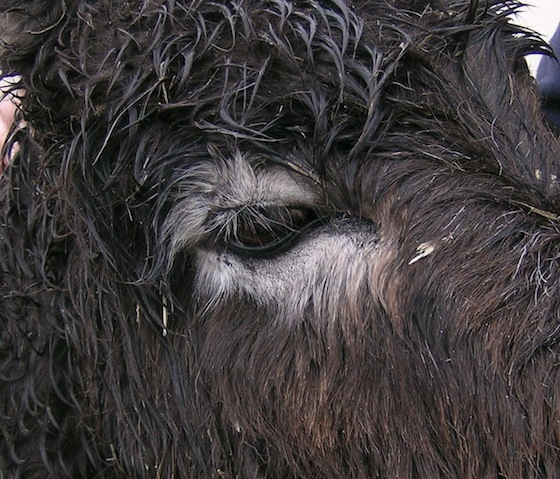 a donkey after treatment for a sarcoid treatment on its eye at University of Liverpool