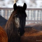 Video: Nevada Wild Horse Roundup Protest Continues, Mustang Death Toll Rises