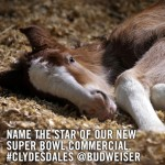 Super Bowl Star Budweiser Clydesdale Foal Has a Hashtag But Not a Name