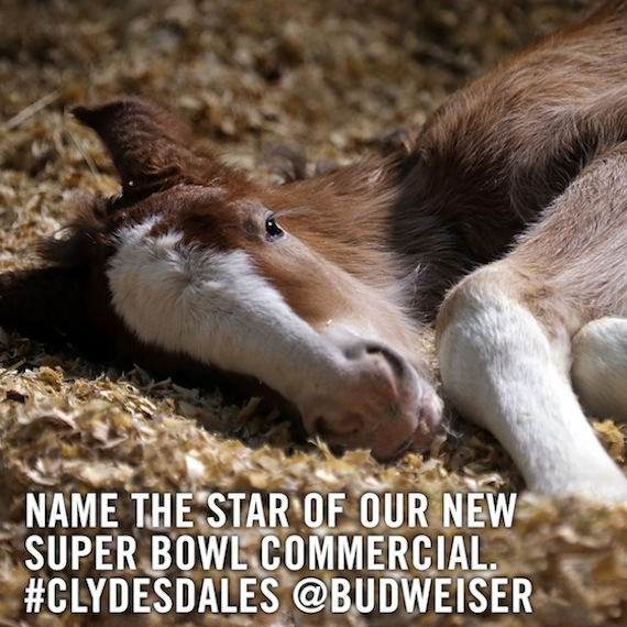 Budweiser Clydesdale foal Super Bowl