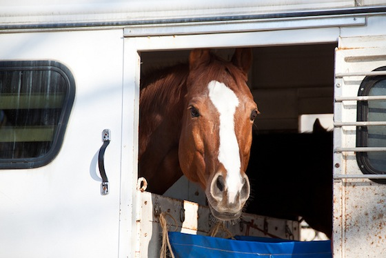 horse in trailer by Victoria Pickering