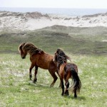 "Behavior research: Wild horses on Canada's Sable Island waste time ""shopping"" for grazing ..."