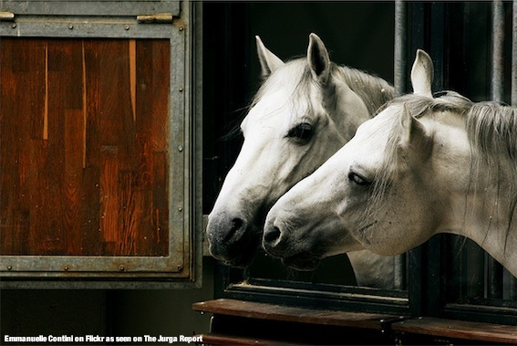 Lipizzaner stallions at the Spanish Riding School in Vienna