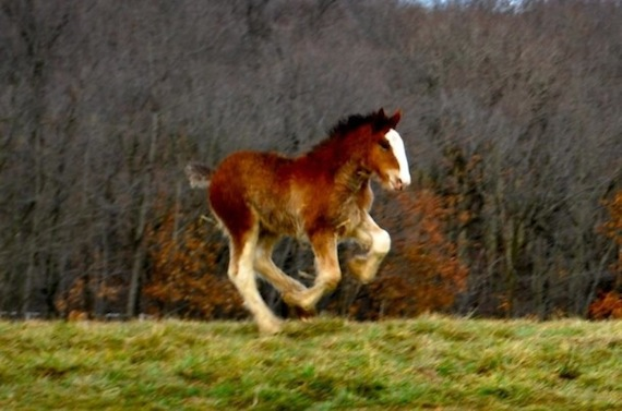 Budweiser Clydesdale famous foal