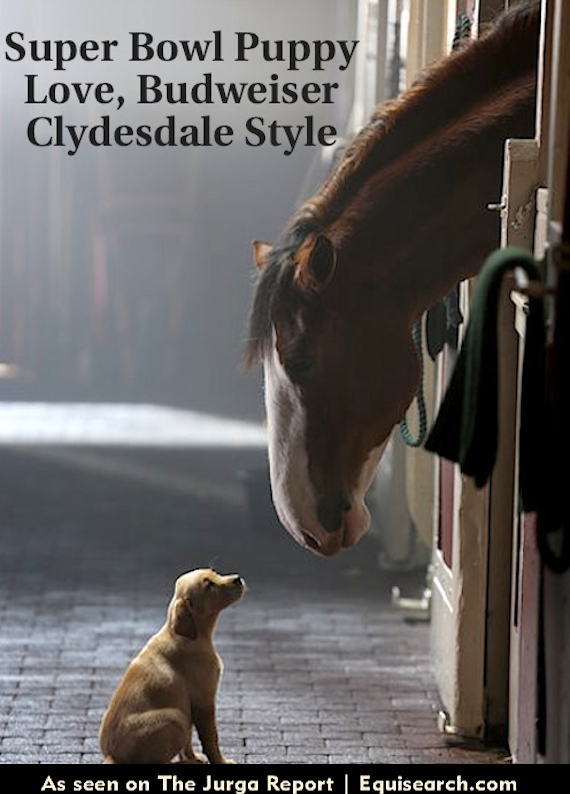 Yellow lab puppy and Budweiser Clydesdale in Super Bowl commercial