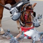 Bigger Questions: New York State Horse Council Issues Statement on Manhattan Carriage Horses, Urges ...