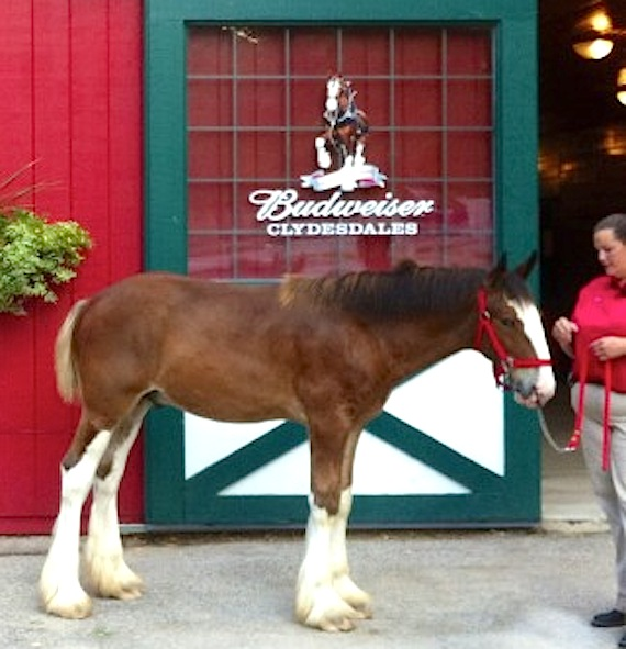 Stan Budweiser Clydesdale foal