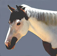 Signs of mild photosensitivity may appear on the white parts of a horse, especially on the face and fetlocks.