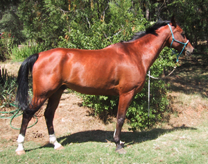 Hat Trick LA is an example of an endurance horse with ideal conformation for the sport. The 10-year-old Arabian gelding with 600 lifetime American Endurance Ride Conference miles &quot;is standing a little uphill in this photo, so it looks like he's leaning forward. On flat ground, he is quite square,&quot; says Dr. Roush. &quot;I cannot fault his conformation. I might wish for his legs to be a tad longer, but that's splitting hairs.&quot;