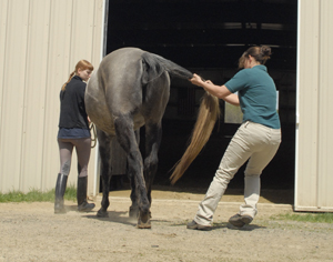 The tail pull is one of the diagnostic tests veterinarians commonly use to assess a horse's strength, balance and reaction time.