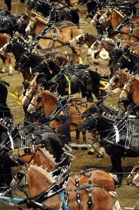 The arena at the Ricoh Coliseum was a sea of horses as the competitors in the six-horse hitch championship for Percherons, Belgians and Clydesdales stood waiting for the results.